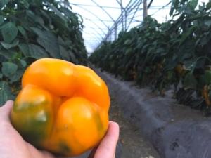 peperone-orticoltura-e-valore-syngenta-in-campo-giu-2015-by-agncs
