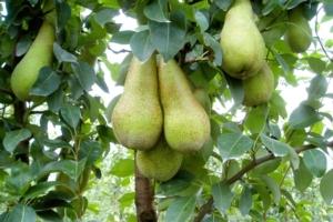 Pero, liste varietali per il 2019 - Plantgest news sulle varietà di piante