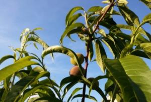 Piante da frutto, nuove regole per la commercializzazione