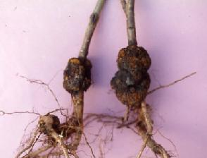 pesco-radici-agrobacterium-tumefaciensis-byatlas-scortichini