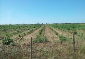 piantagione-di-bambu08set2016confagricoltura-taranto