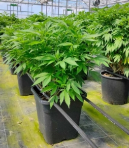 piantina-cannabis-sativa-micropropagazione15-lug-2020-fioridoro