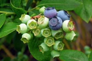 Coltivare mirtilli, guida per gli agricoltori - Plantgest news sulle varietà di piante