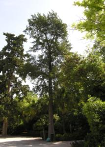 pino-australiano-o-albero-del-ferro-terzo-art-gen-2021-rosato-fonte-universita-trieste-dip-scienze-della-vita