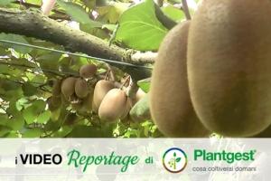 Il kiwi giallo ed il segreto del suo successo - Plantgest news sulle varietà di piante