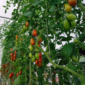 pomodori-articolo-barbara-righini-mar-2020-novelfarm-fonte-fruit-hydro-sinni