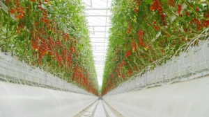 Pomodori e cetrioli in idroponica: una sfida hi-tech - Plantgest news sulle varietà di piante