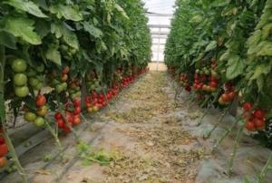 pomodori-in-serra-fonte-biolchim