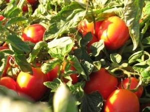 pomodori-industria-donatello-sandroni-1