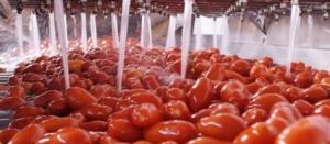Sud, Anicav inaugura la campagna di trasformazione del pomodoro - Plantgest news sulle varietà di piante