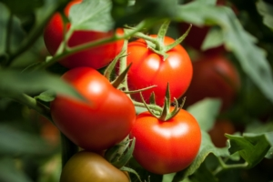pomodori-pomodoro-by-italianfoodprod-adobe-stock-750x500