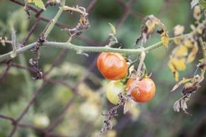 pomodori-pomodoro-malattie-by-dimitridim-adobe-stock-750x500