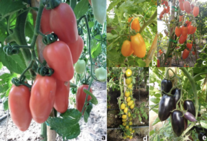 pomodori-san-marzano-dafne-mag-2020-fonte-universita-tuscia