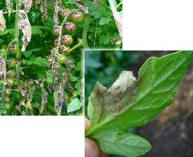 pomodoro-ciliegino-peronospora-foglie-sporulazione-bypdb