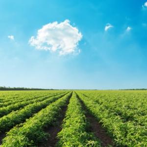 La concimazione del pomodoro da industria secondo Unimer - Fertilgest News