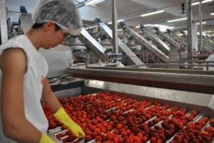 pomodoro-da-industria-fonte-oi-pomodoro-nord-italia