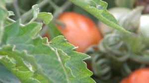 pomodoro-da-industria-komolix-syngenta-ibridi-varieta-solanacee-by-agronotiziecs-750