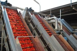 pomodoro-da-industria-lavorazione-fonte-oi-pomodoro-da-industria-del-nord-italia