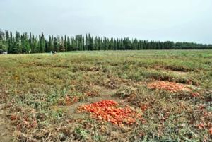 pomodoro-da-industria-pomodori-by-murasal-fotolia-750