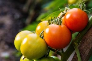 pomodoro-grappolo-fonte-shutterstock-513523810-via-green-has-italia