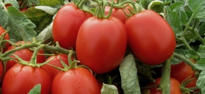 La linea Upl per la difesa del pomodoro