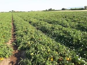 pomodoro-industria-fonte-crea-20210730