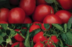 pomodoro-industria-suomy-miceno-fonte-syngenta1
