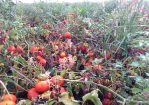 Orodem: per un pomodoro da medaglia d'oro - colture - Fertilgest