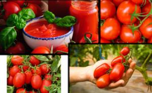 Pomodoro: migliorare produzioni e qualità? Con Unimer si può - Unimer - Fertilgest News