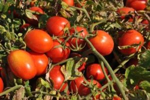 Coronavirus, la filiera del pomodoro non si ferma - Plantgest news sulle varietà di piante