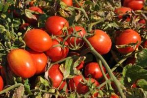 pomodoro-pomodori-ott-2020-fonte-oi-pomodoro-da-industria-nord-italia