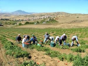 Pomodoro siccagno, quando la mancanza di acqua è una risorsa - Plantgest news sulle varietà di piante