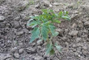 pomodoro-siccita-by-matteo-giusti-agronotizie-jpg
