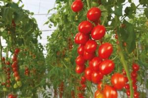 pomodoro-vegetable-sementi-certificate-bio-fonte-bayer