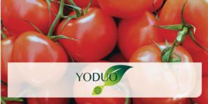 pomodoro-yoduo-fertilizzante-redazionale-aprile-2021-fioritura-fonte-rotam