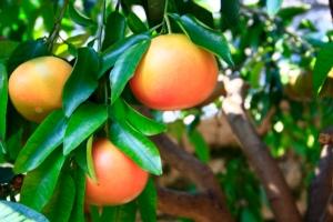 Pompelmo, un agrume in calo - Plantgest news sulle varietà di piante
