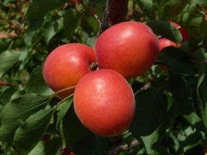 Per Ips l'albicocco è una scommessa vincente - Plantgest news sulle varietà di piante