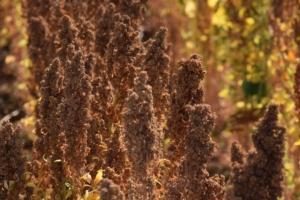 Quinoa, il boom che arriva dalle Ande - Plantgest news sulle varietà di piante