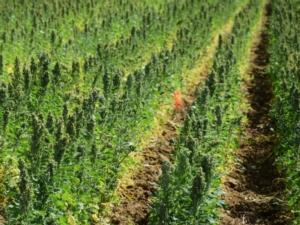 Quipu, la quinoa italiana - Plantgest news sulle varietà di piante