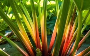 La riscoperta del rabarbaro - Plantgest news sulle varietà di piante
