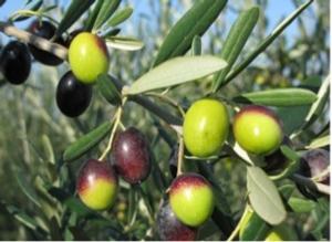 Giornata dimostrativa di raccolta in continuo delle olive