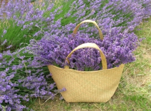 Un'azienda al profumo di lavanda - Plantgest news sulle varietà di piante