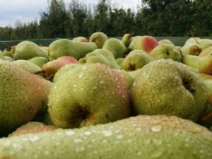 raccolta-pere-fonte-patfrut