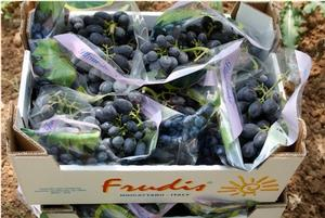 raccolta-uva-da-tavola-1