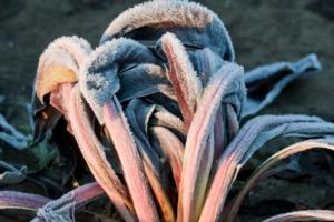 Radicchio, qualità e valore per un trend positivo - Plantgest news sulle varietà di piante