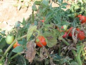 ragnetto-rosso-pomodoro-fonte-oi-pomodoro-industria-nord