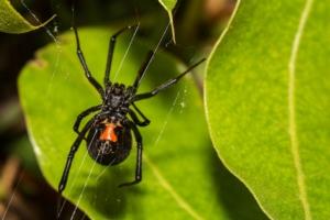 ragno-ragni-insetto-insetti-vedova-nera-by-ondreicka-fotolia-750