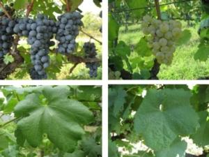 raspato-nero-reale-bianca-grappoli-foglie-by-arsial-jpg