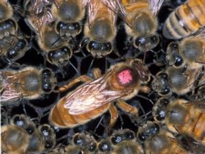 regina-ape-by-scott-bauer-wikipedia-jpg