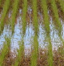 riso-Vercelli-Cra-centenario